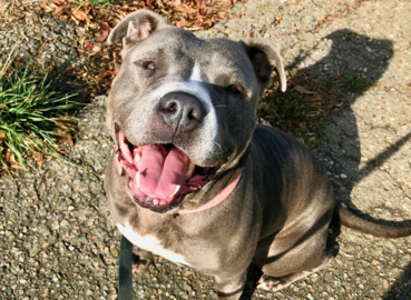 Pet Tales: Alana the playful Lab-pitbull mix is needs a new home