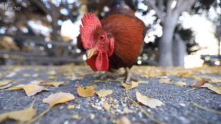 What's up with the roosters roaming around Arroyo Grande?