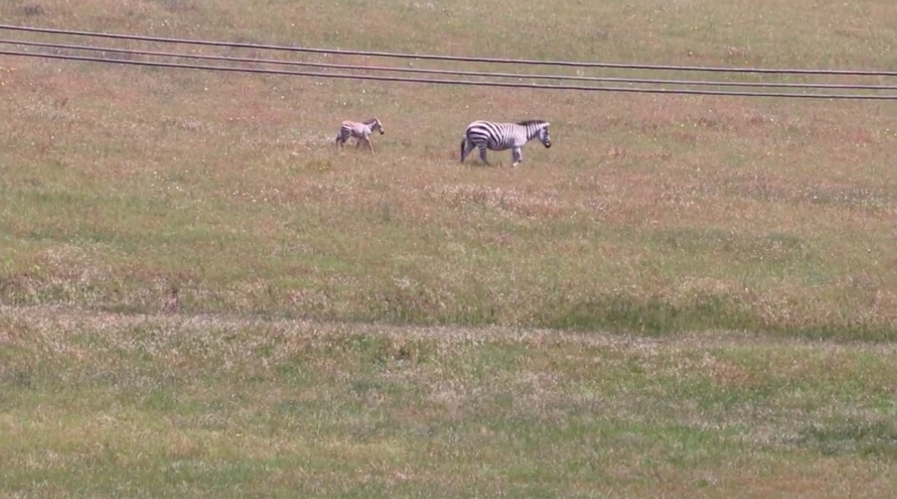 What's up with the zebras off Highway 1 near Hearst Castle?