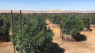 Marijuana growers in the California Valley fight back against SLO County