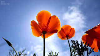 Beautiful California poppies are blooming all around SLO County