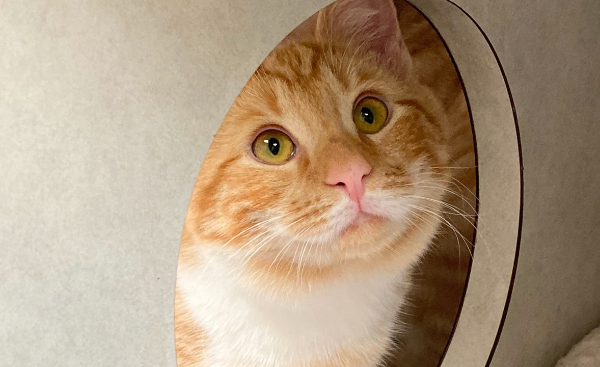 Pumpkin the orange tabby kitten needs a new home for the holidays