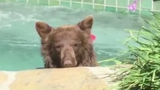 Watch this margarita-loving bear get a hot tub treat