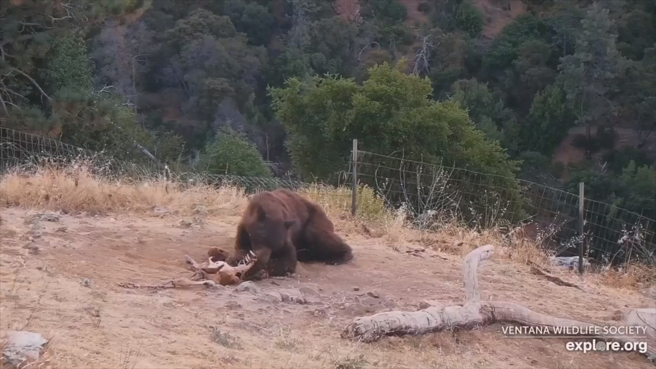 Bear makes surprise visit at Big Sur sanctuary. Here's why staff called it 'pretty cool'
