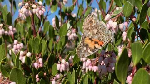 Painted lady butterflies are fluttering through SLO County on their way up California