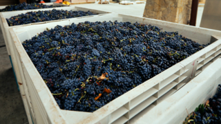 What happens after wine grapes are harvested