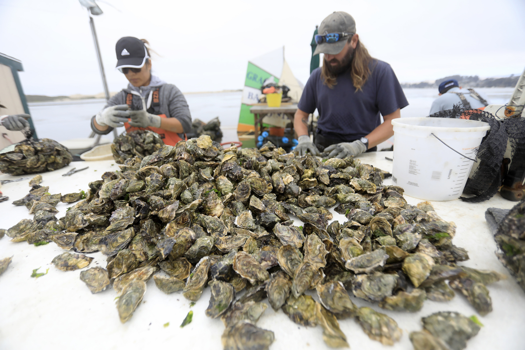 Morro Bay oyster farmers are thriving now — but they face a looming threat