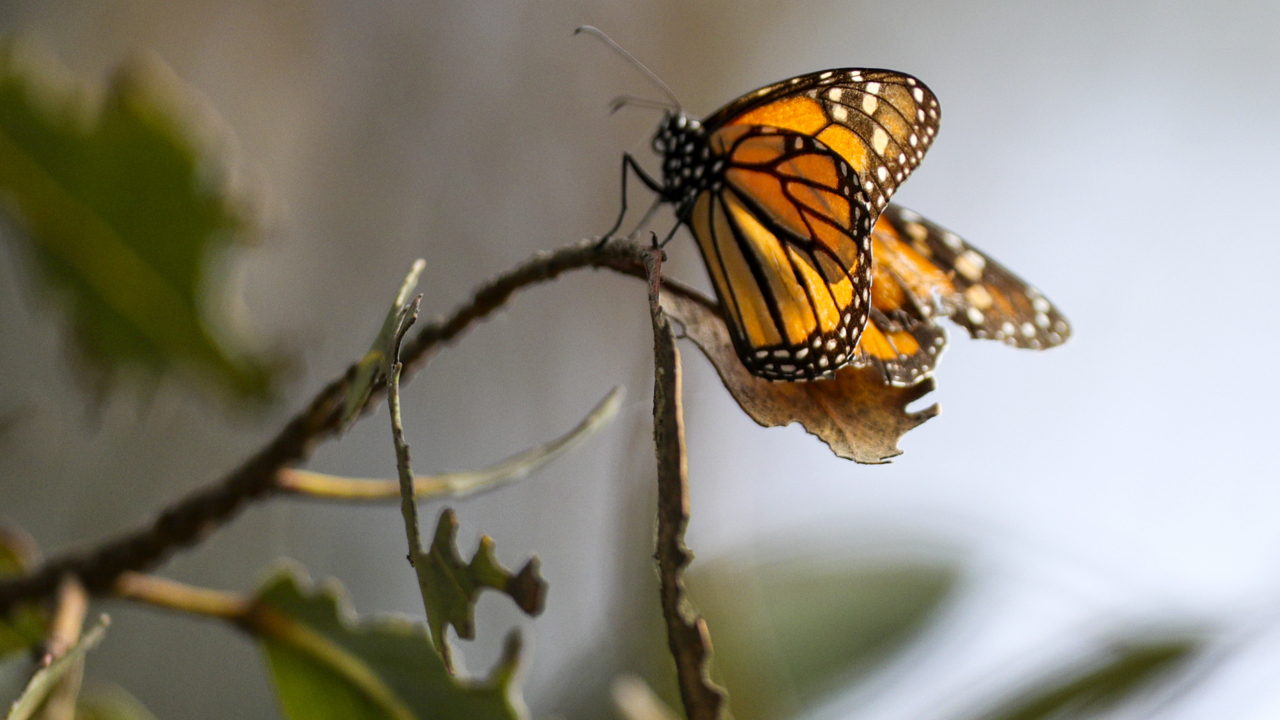 Monarch butterfly population plummets at Pismo Beach grove: 'These numbers are so bad'