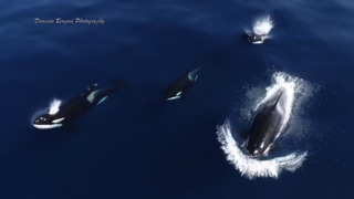 Stunning drone video captures killer whales swimming off the coast of San Diego
