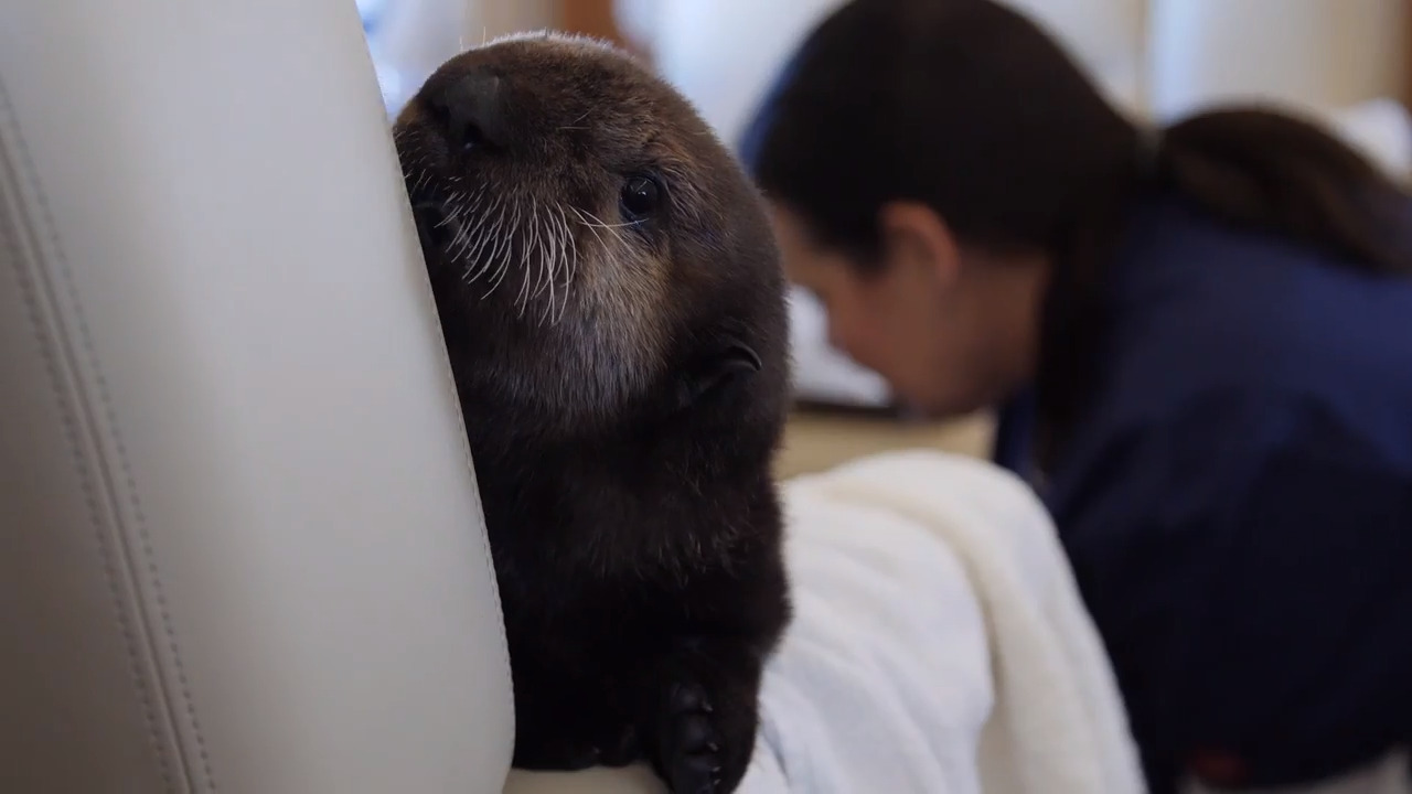 These stranded sea otter pups took a private jet from the Central Coast to a new home