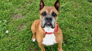 Meet Joe the boxer, a shelter dog in SLO looking for his forever home