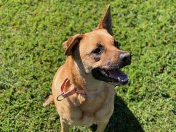 Sandy the German shepherd mix is sweet, smart and looking for a forever home