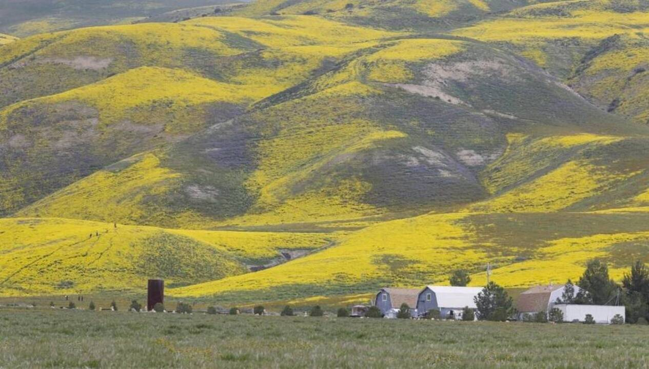 Will winter rain lead to another wildflower superbloom on Carrizo Plain?