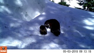 Watch these wolverine kits, mother playing in snow east of Mount Rainier