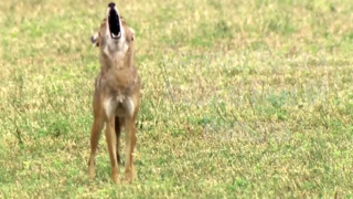 Coyotes in your backyard? Here's some tips on how to live with them