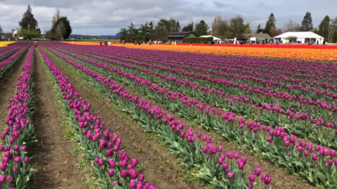 You've waited for the best blooms at the Tulip Festival. Your patience has paid off