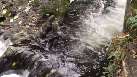 Watch these otters frolicking in Bellingham's Whatcom Creek