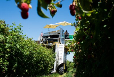 Last winter was bad for Whatcom County raspberry farmers. A look at what's ahead