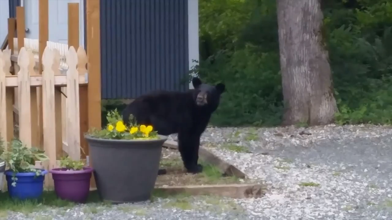 Black bear at the N.C. Zoo is put down after illness caught caretakers 'off guard'