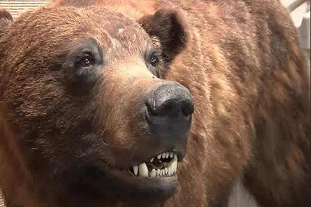 'Rare' cinnamon bear caught, shown off to 600 school kids, Pennsylvania officials say