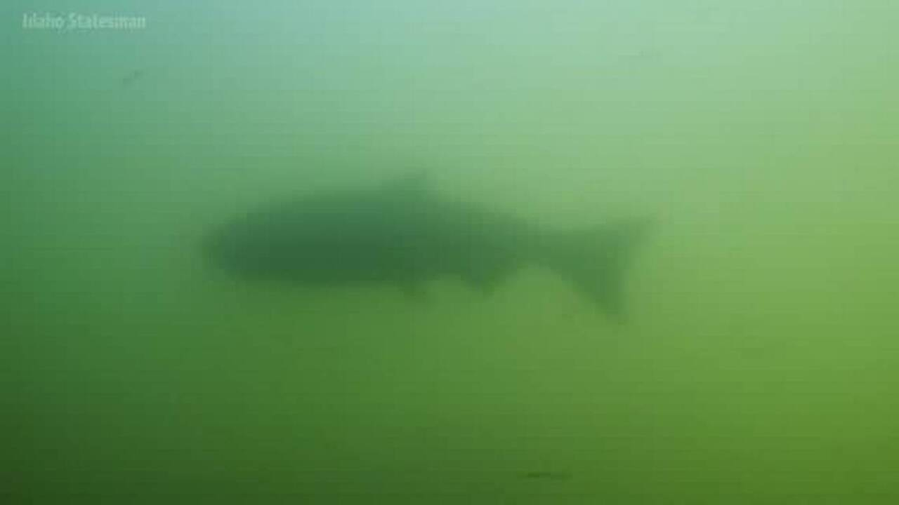 Idaho's salmon can't survive with the lower Snake dams in place