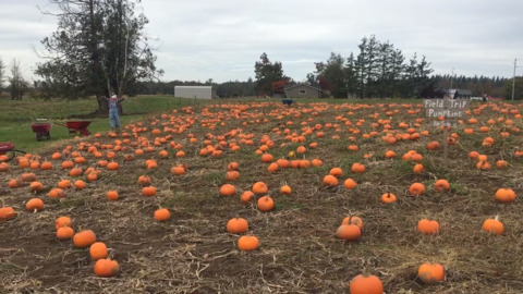 Pumpkin patch, pumpkin bread, pumpkin launchers. This Everson farm has them all