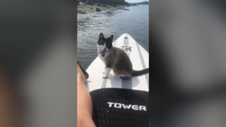 This cat loves to ride on a paddleboard