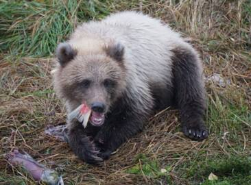 Alaskan Brown Bears compete and eat for the title of 'fattest bear'