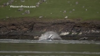 Killer whales try to hunt down a sea lion, until he's rescued by friends