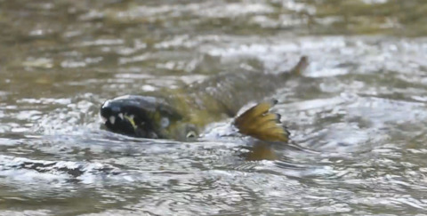 Kennedy Creek salmon return for annual spawning ritual
