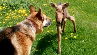 Cute alert! Baby moose, dog become instant friends