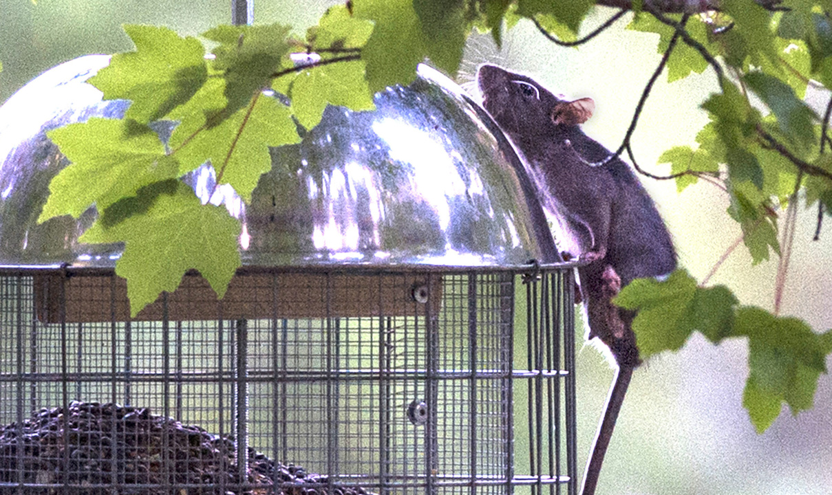 Rats in Olympia are a year-round nuisance, pest experts say