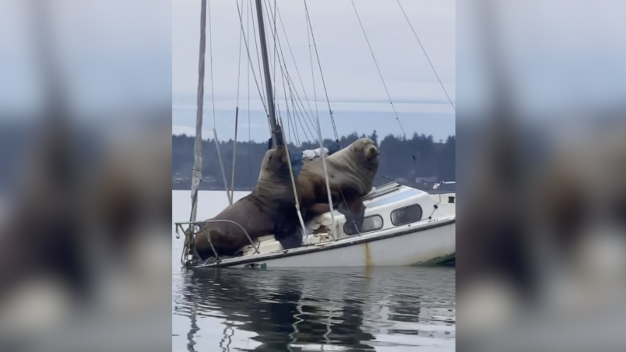 Watch these massive sea lions living their best life — chilling on a boat in Puget Sound