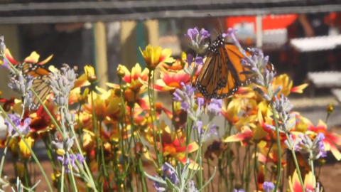 Get face-to-face with local butterflies at the Thurston County Fair