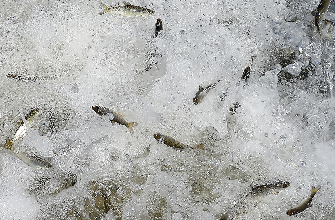 Tri-Cities anglers can rejoice. Fall Chinook season to open on the Snake River