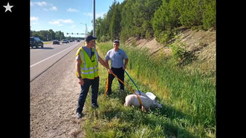 Police radio conversation about pigs leads to misunderstanding that will crack you up