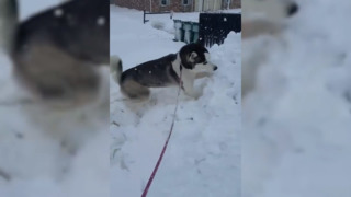 Husky digs through snow pile during Nor'easter