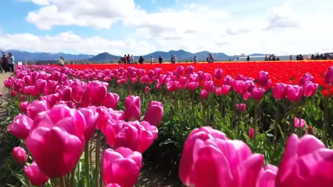 Color us smitten. The tulips of Skagit Valley are in full bloom