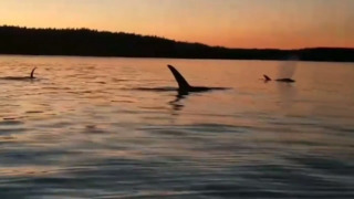 Stunning close-up encounter with orca pod off Key Peninsula