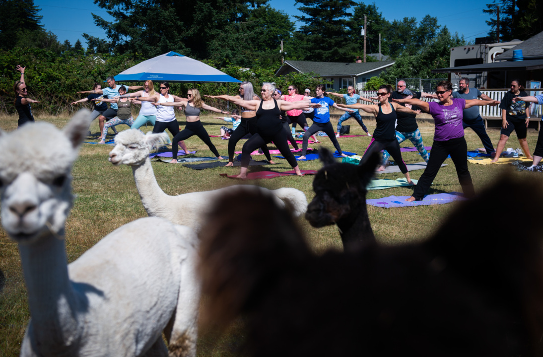 Rescued alpacas can help with your downward-dog pose at this farm in Fife