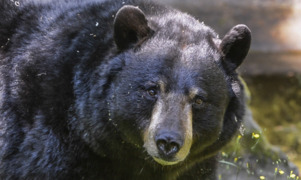 Bears follow 'their nose anywhere that they think is food'