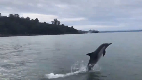 Cinco the dolphin shows off in Tacoma's Commencement Bay