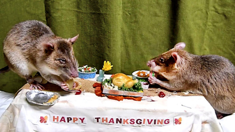 African giant pouched rats, aka HeroRATS, chow down on mini Thanksgiving feast