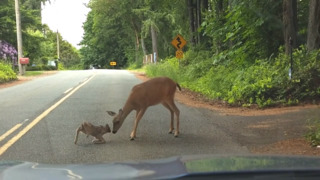 Frightened fawn nudged out of street by anxious doe