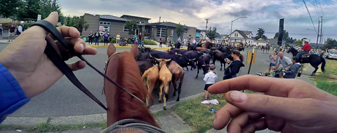 Annual rodeo cattle drive brings tradition, and steers, back to the streets of Puyallup