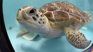 Sea Turtle Rescue Center at SEA LIFE Grapevine Aquarium is helping Texas coastal reptiles