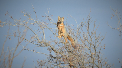 Watch this gray fox grab snacks at the top of a tree
