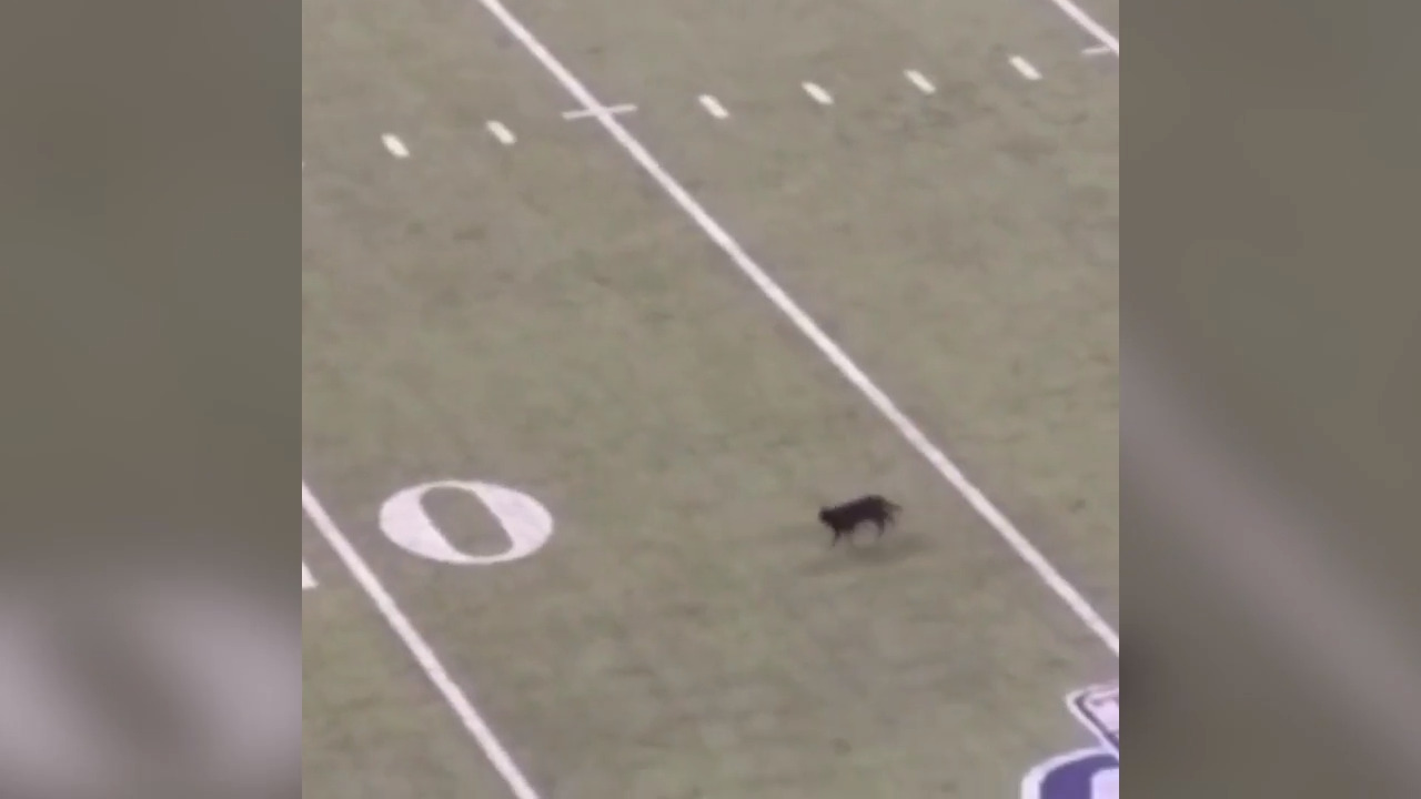 Black Cat Invades Field At Giants Cowboys Nfl Game Fort