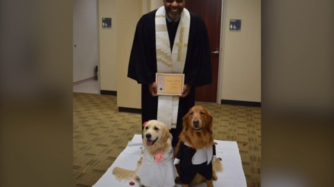 Puppy love: golden retriever therapy dogs get hitched at a hospital in Texas