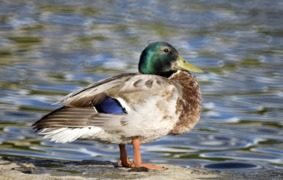 Wildlife is thriving at Boys Ranch Park Lake in Bedford thanks to 'the duck ladies'